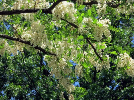 black locust under tree