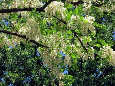 black locust under tree